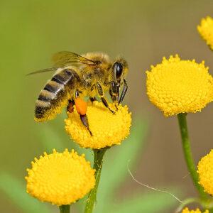 Bienen-Tag<br/>Donnerstag, 05. August 2021